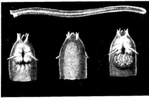 pesca - lampreas argentinas 3