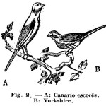 Como hacer – Criar CANARIOS (1 de 2)