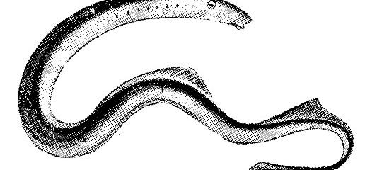 pesca - lampreas ANGUILAS argentinas 3